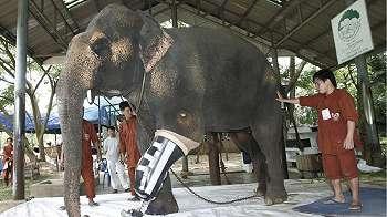 Rumah sakit gajah pertama dunia di Thailand terancam ditutup