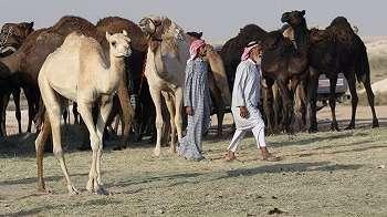Unta dan domba Qatar pun terkena dampak pengucilan