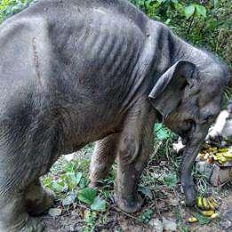 Gajah jantan tewas di kebun sawit, anak gajah terluka oleh senapan