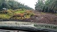 Bonita Binasakan 2 Orang, Ini 4 Kantong Harimau Sumatera di Riau