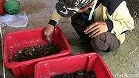 Warga Ciamis Bikin Pakan Ternak Berbahan Telur Lalat 'Tentara Hitam'