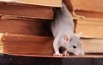 Cara Ampuh Mengusir Tikus di Rumah Secara Alami