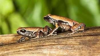 3 Tahun Dicari, Spesies Katak Baru Misterius Ketemu di Kubangan Jalan