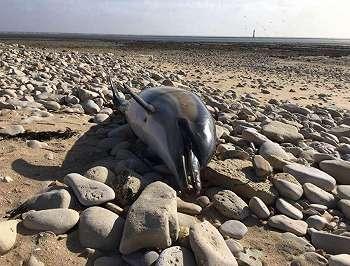 Ribuan Lumba-lumba Mati Dibantai, Alasannya Bikin Miris