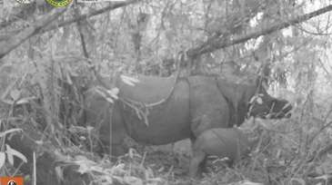 Sepasang Anak Badak Jawa Lahir di Taman Nasional Ujung Kulon